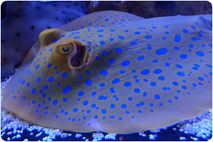 View our Blue Spotted Stingray at our fish tank supply store in Chicago & Tinley Park IL